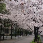 目黒川桜4