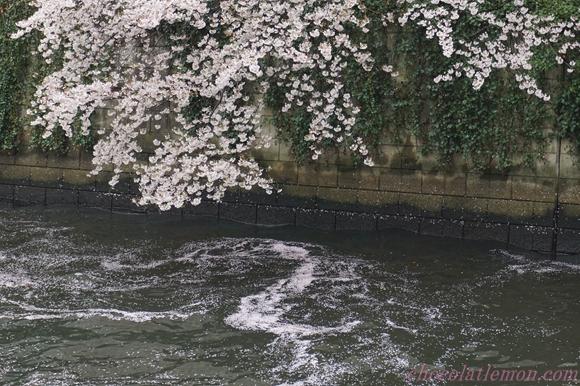 目黒川桜17