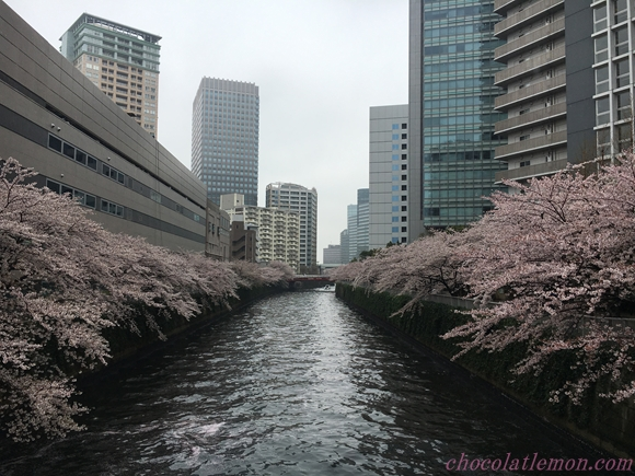 目黒川桜6