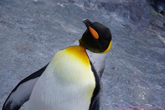 旭山ペンギン14