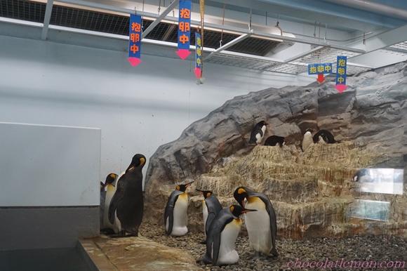 旭山ペンギン11