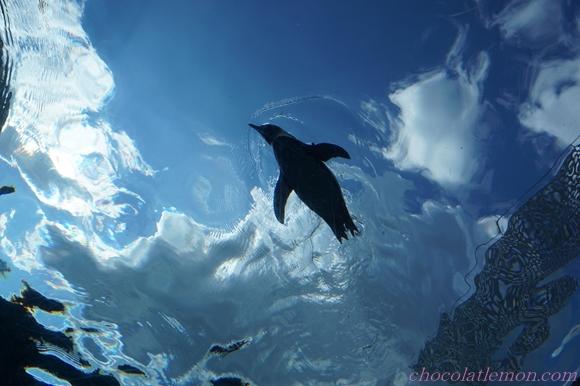 旭山ペンギン1