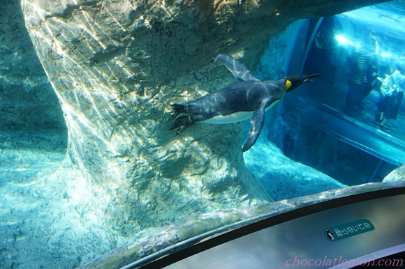 旭山ペンギン6
