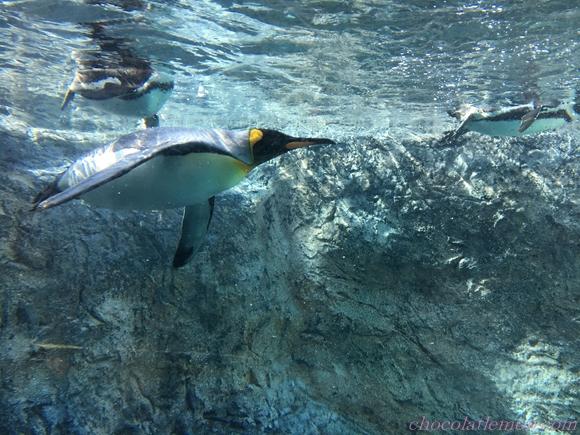 旭山ペンギン7