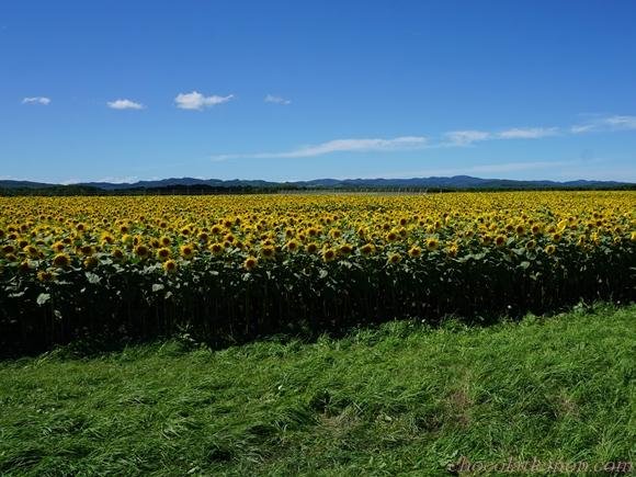 ひまわり畑11