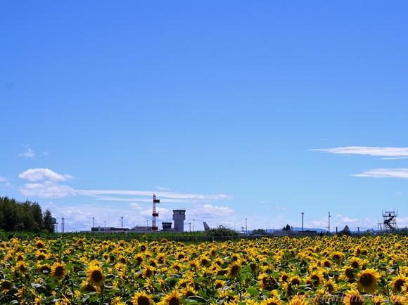 ひまわり畑10